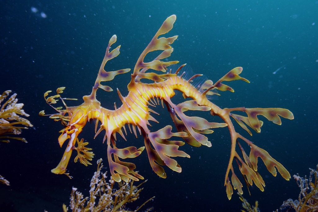 25-Mysterious-Sea-Creatures-That-Are-Bizarre-And-Rare-leafy-sea-dragons