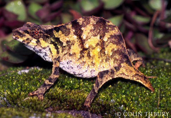 The-Top-15-Ancient-Reptiles-Chapman-Pygmy-Chameleon