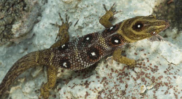 The-Top-15-Ancient-Reptiles-Union-Island-Gecko