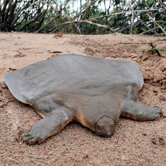 The-Top-15-Ancient-ReptilesCantors-Giant-Softshell-Turtle