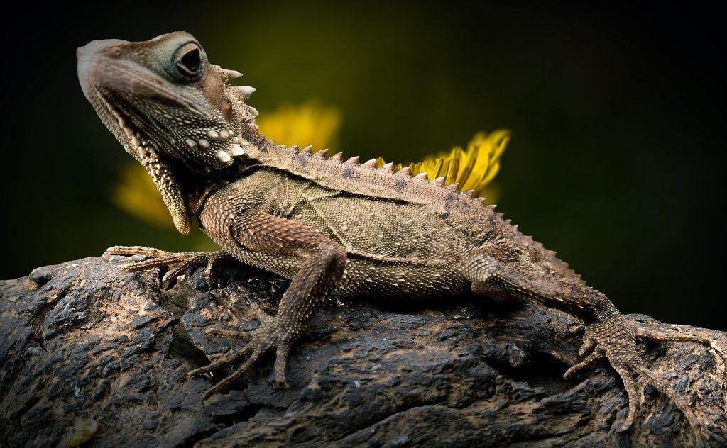 Six-Interesting-Dinosaur-Descendants-That-Live-On-Earth-Today-Lizard