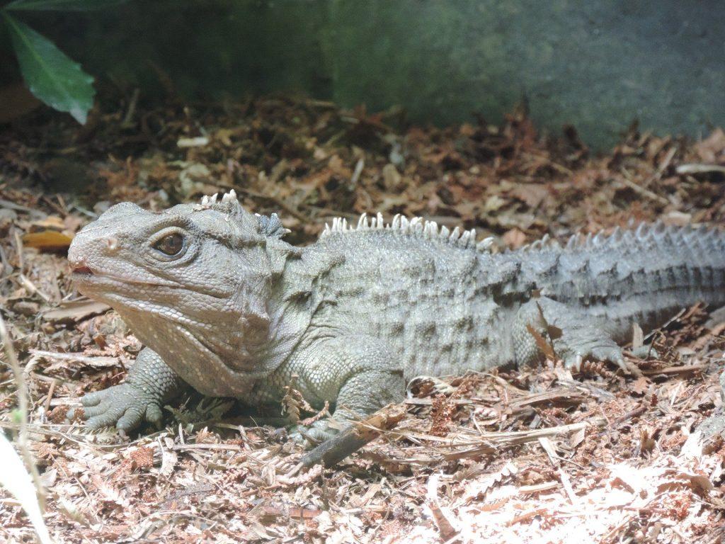 Six-Interesting-Dinosaur-Descendants-That-Live-On-Earth-Today-Tuatara