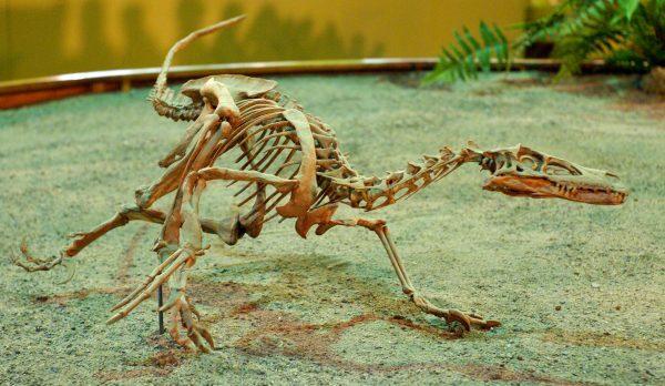 Velociraptor_Wyoming_Dinosaur_Center