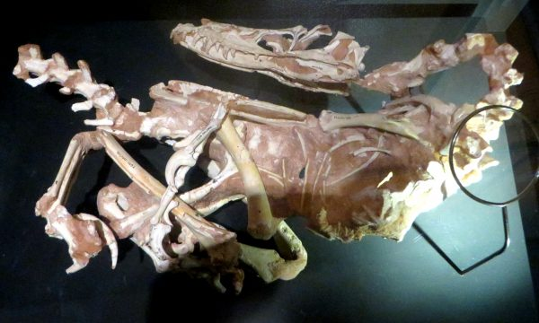 Velociraptor_specimen_IGM