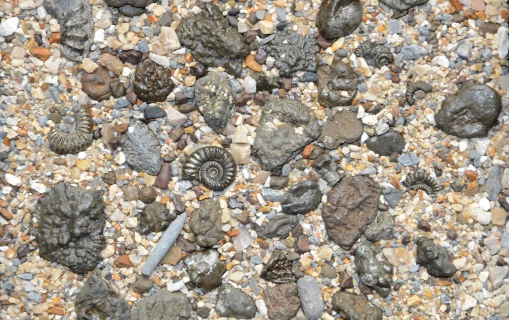 Charmouth-Fossils-and-Fossil-Hunting-on-the-Jurassic-Coast-1