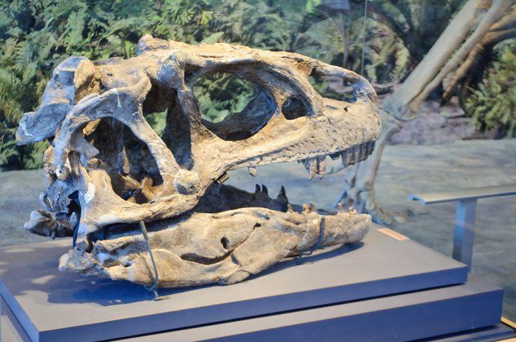 Dinosaur Head Fossil in Dinosaur National Museum