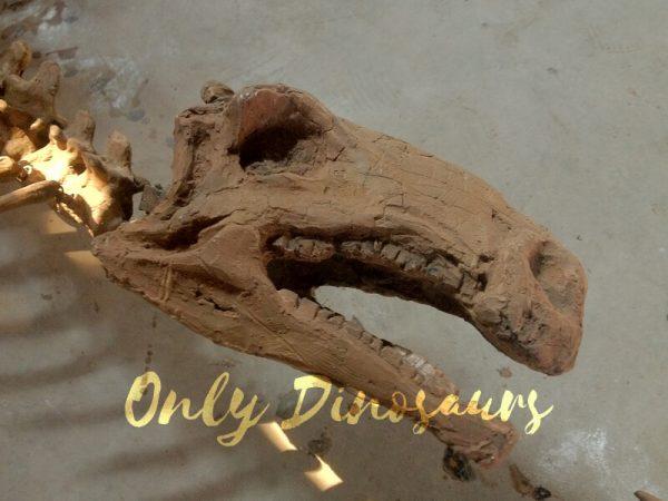 Realistic-Dinosaur-Stegosaurus-Bone-for-Exhibits2