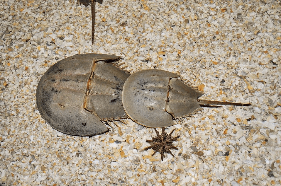 Top-15-Popular-Fossil-and-Dinosaur-Pokemons-That-You-Will-Like-Two-Horseshoe-Crabs