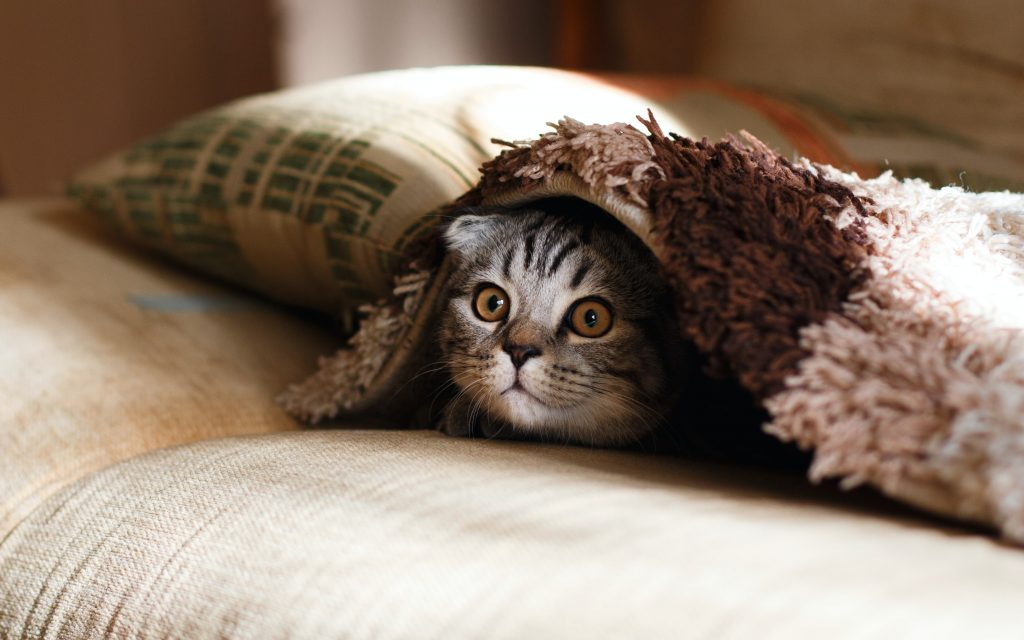 A Black and White Striped Kitten Watching Underneath a Brown Blanket