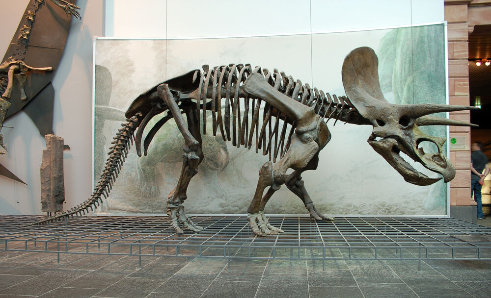 A Triceratops Skeleton in the Museum