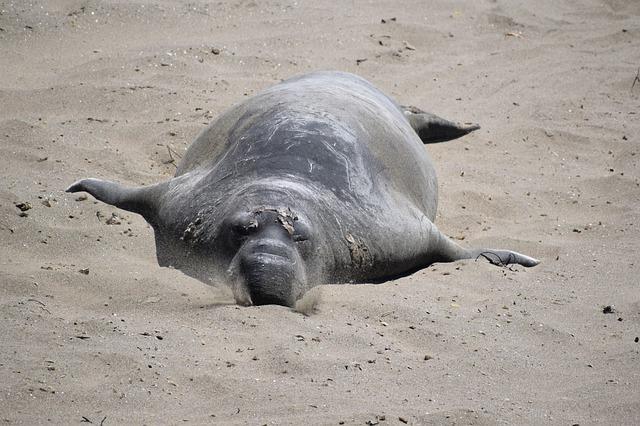 Elephant Seal in the Beach