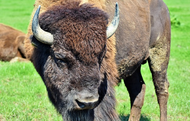 Hairy Bison on the Prairie