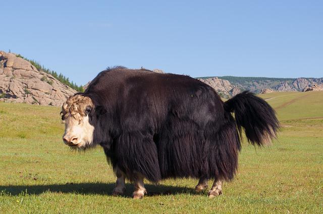 Hairy Yak on the Prairie
