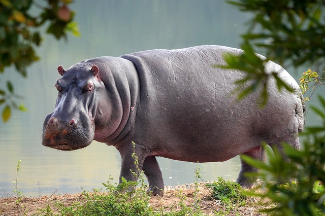 Hippopotamus Beside the River