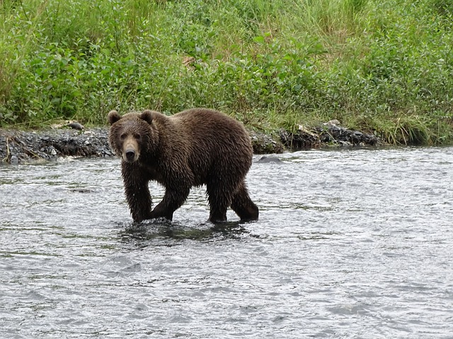 Kodiak Bear in the River