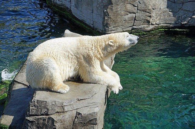 Polar Bear Beside the Pool