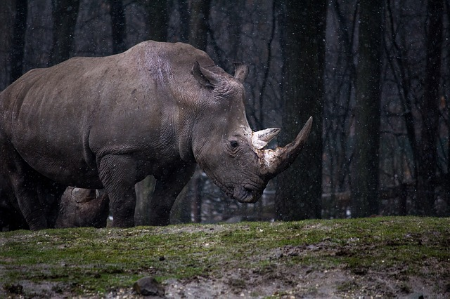 Rhinoceros in the Forest