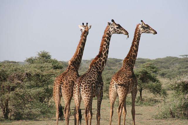 Three Giraffes on the Prairie