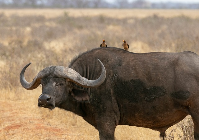 Two Birds on the Water Buffalo