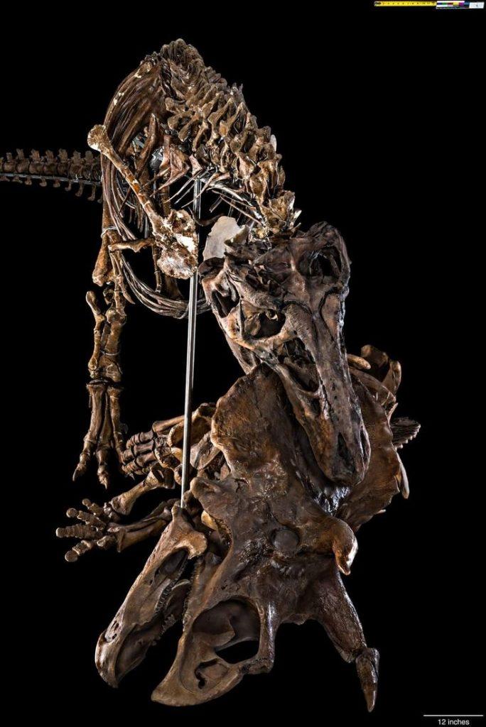 Tyrannosaurus Meat Diet