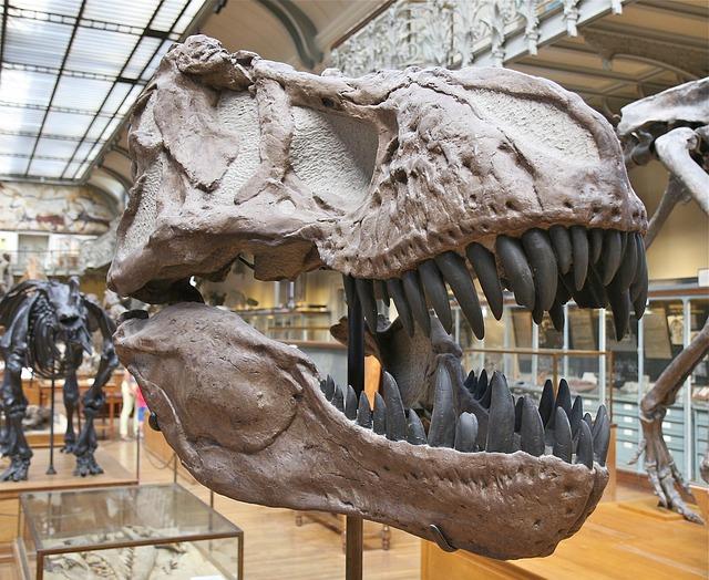 Tyrannosaurus Tooth