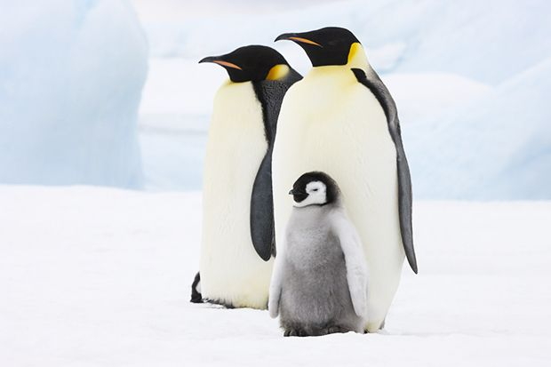 a penguin family on ice