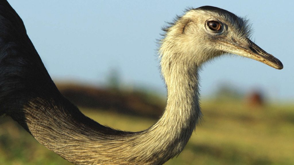 the head of a greater rhea