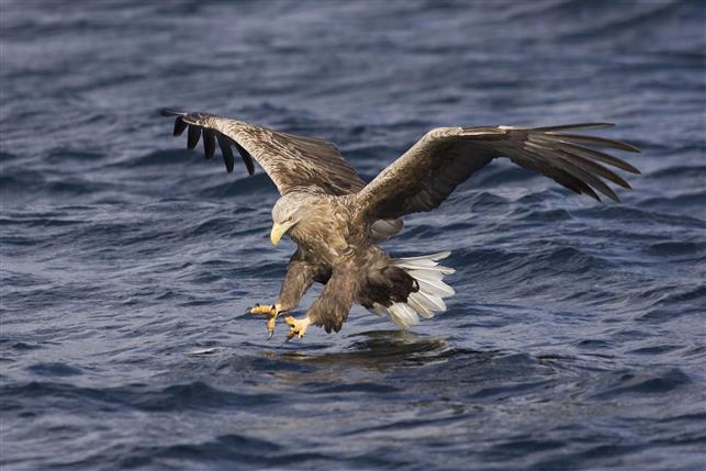 an eagle is hunting on the water