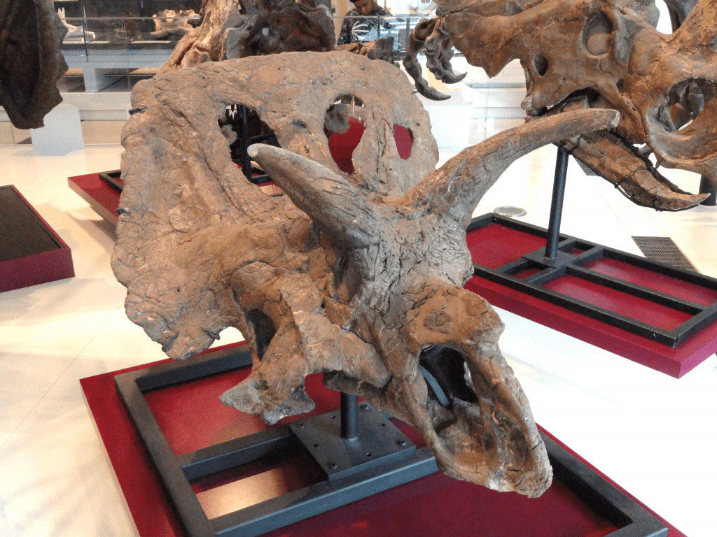 fossil of a horned dinosaur with oval openings in its frill on display