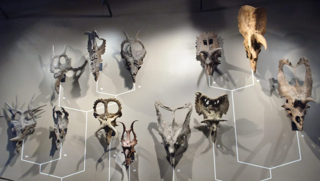 different fossilized Ceratopsid skulls mounted on a gray wall