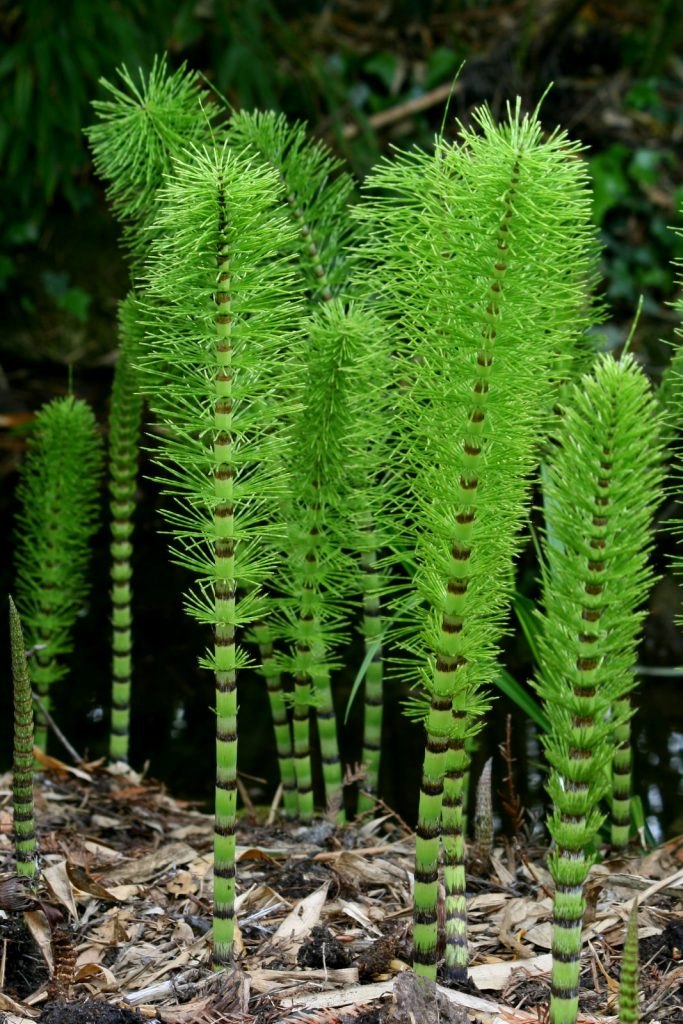 portrait shot of green horse tail-shaped plants