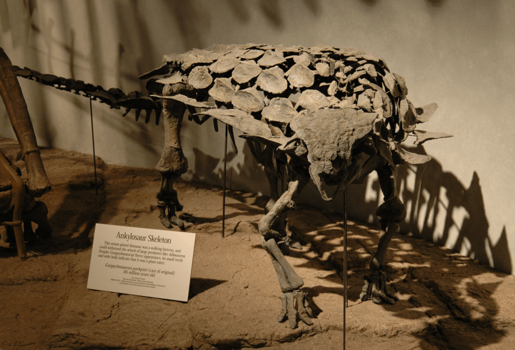 skeleton of an armored dinosaur with spikes on its sides at a display