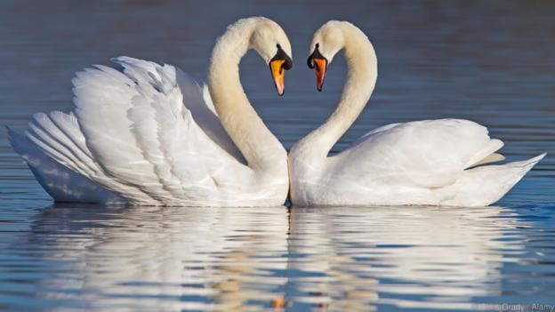 a couple of white swan in the water