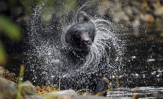 blace bear having fun in the water