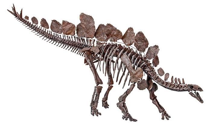 Stegosaurus Body Plates