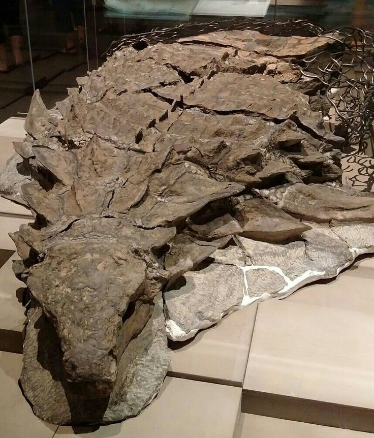 The Back of an Ankylosaurus Fossil