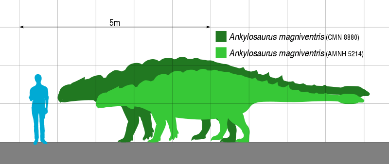 The Height Comparing of Human and Ankylosaurus