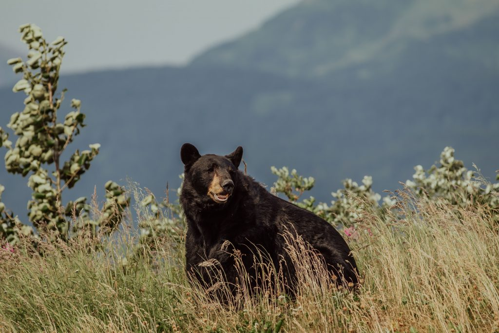 a black bear in a flower field during the afternoon