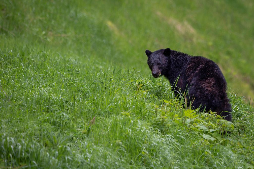 a black bear looking back while on a green grassy hill