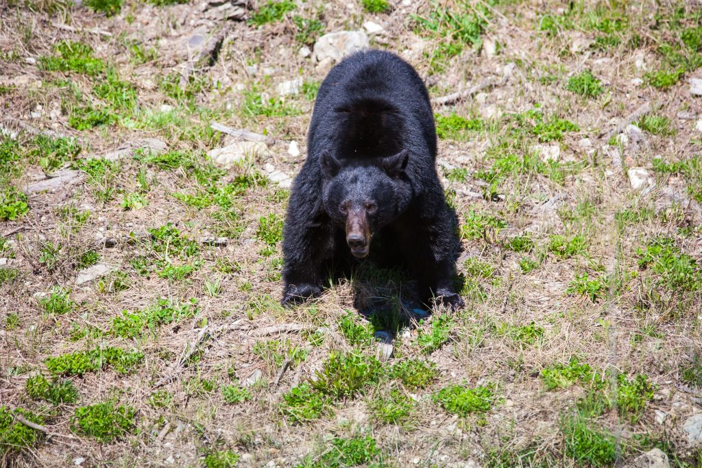 a black bear on the grass during daytime