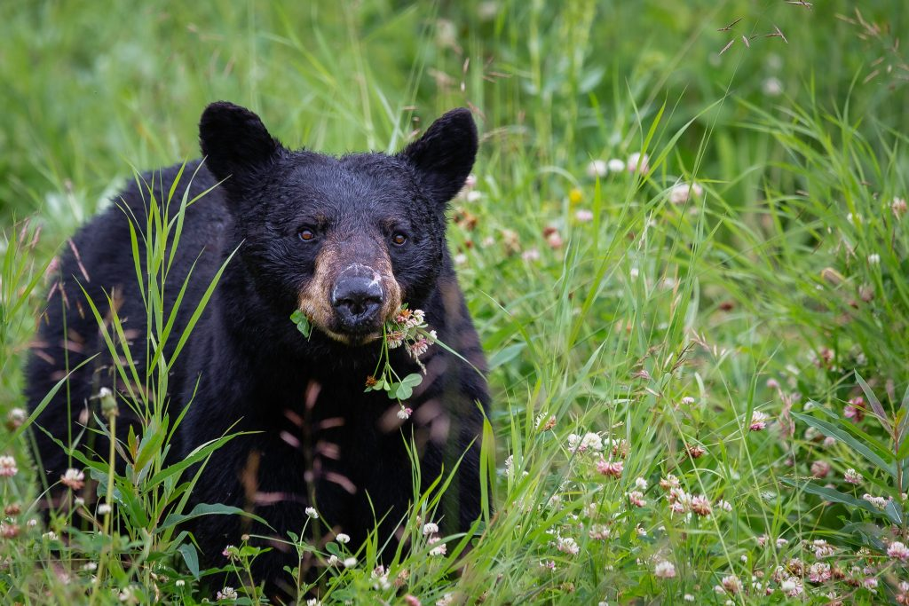 a black bear with a flower in its mouth