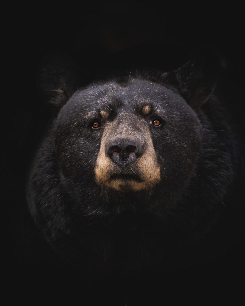 dinosaur-lover-gifts-for-toddlers-this-Christmas-seasona close-up shot of an adult black bear in a black background