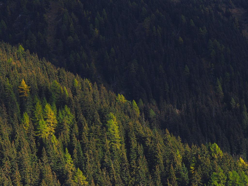 a forest of coniferous trees in the sunlight and in the shade