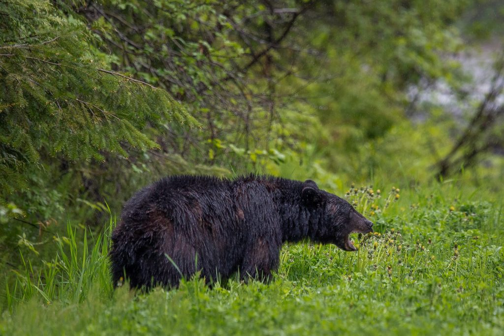 an open-mouthed black bear in a green forest