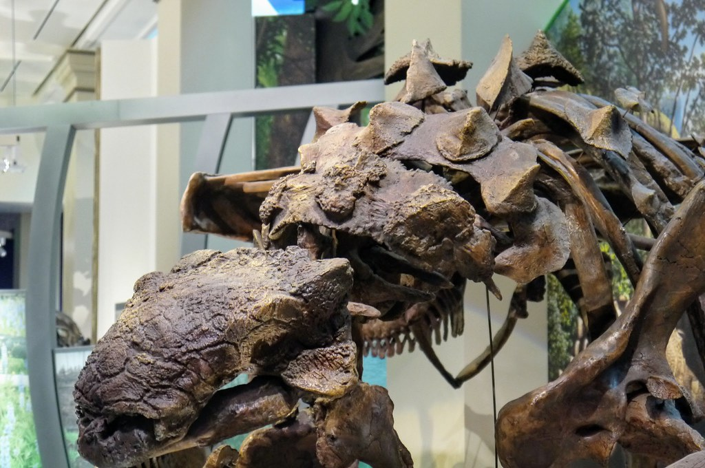 close-up shot of a dinosaur skeleton with spikes on its back