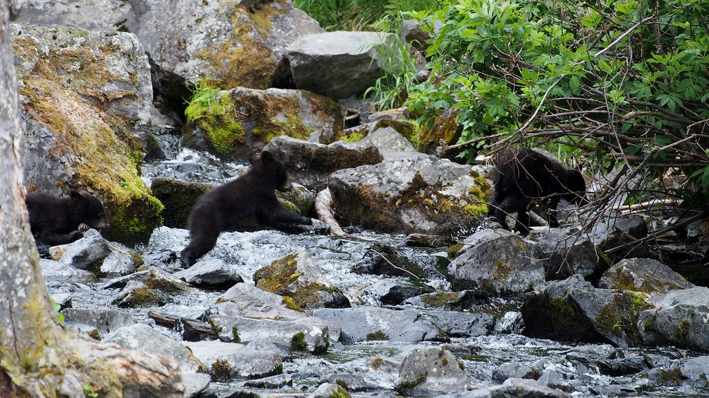 black bear cubs leaping over a rocky stream