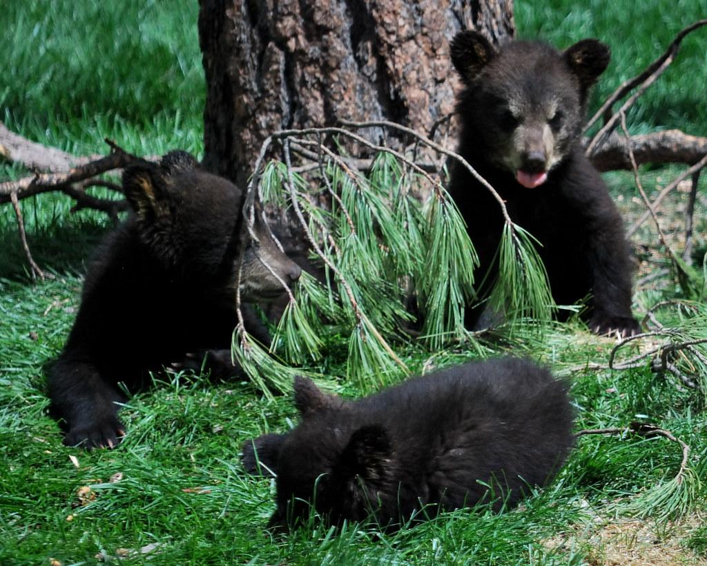 black bear cubs on green grass beside a brown tree
