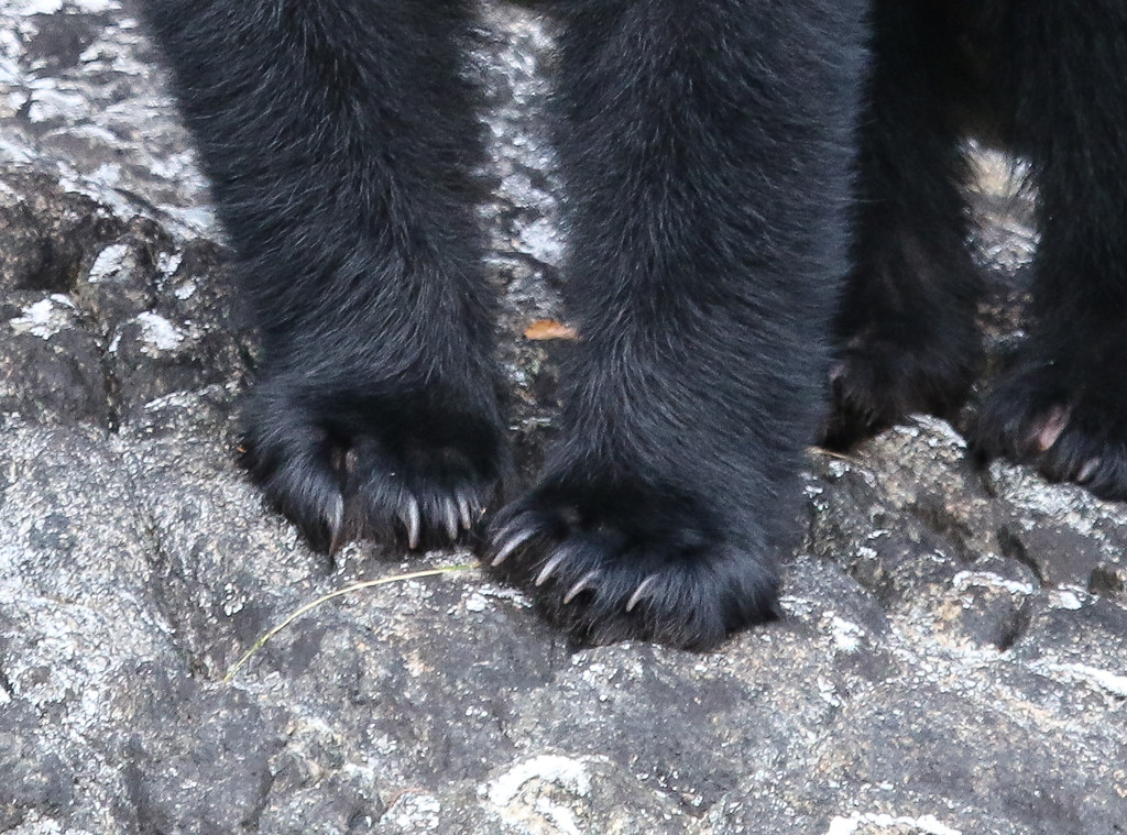 close-up shot of black bears' claws