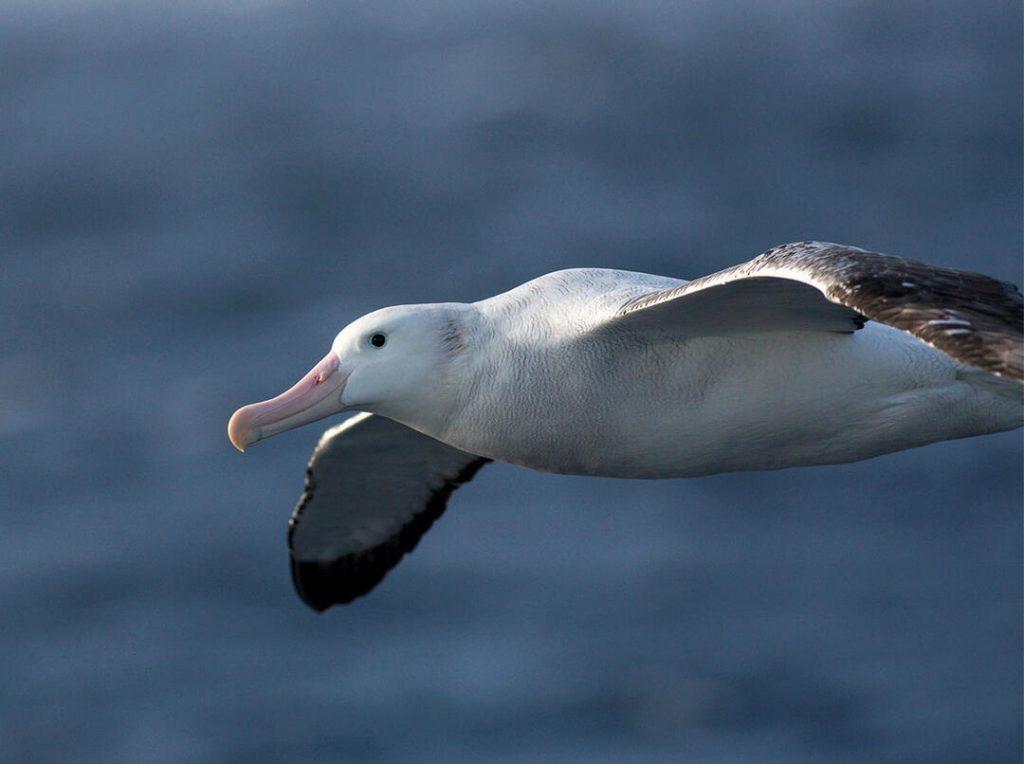 a flying wandering albatross in the sky