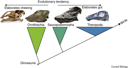 herbivore dinosaurs - diagram of dinosaur skulls with triangles beneath to show changes in skull shape and food processing